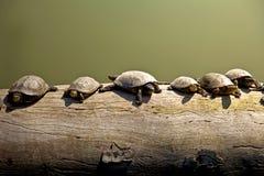 Schildpadden op een logboek Stock Foto's