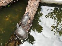 Schildpadden op een logboek, langzaam en regelmatig stock foto
