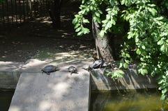 Schildpadden op een rij op de kust Stock Foto