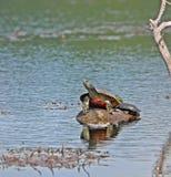 Schildpadden op een Rots stock foto