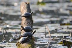 Schildpadden op een stomp Royalty-vrije Stock Foto's