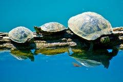 Schildpadden op logboek Stock Fotografie