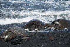 Schildpadden op zwart zandstrand Stock Afbeeldingen