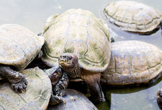 Schildpadden in Penang, Maleisië Royalty-vrije Stock Foto