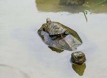 Schildpadden in Penang, Maleisië Stock Foto's