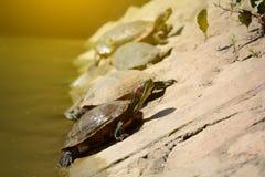 Schildpadden, Schildpadden op riverbank, mooie schildpadden royalty-vrije stock fotografie