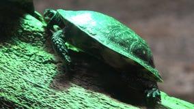 Schildpadden, Schildpadden, Reptielen, Dieren, het Wild stock videobeelden