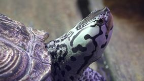 Schildpadden, Schildpadden, Reptielen, Dieren, het Wild stock video