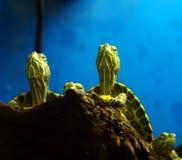 Schildpadden in terrarium Stock Foto