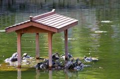 Schildpadden van een meer, bij een park Stock Foto