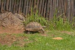 Schildpaddenbeweging langzaam in JHB-dierentuin stock foto's