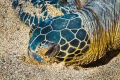 Schildpaddenclose-up Stock Afbeelding