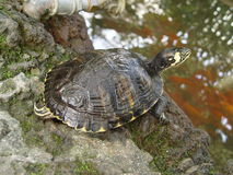 Schildpaddenland Royalty-vrije Stock Afbeelding