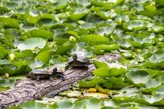 Schildpaddenschildpadden en Schildpadden die in de zon zonnebaden Royalty-vrije Stock Foto's