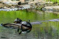 Schildpaddenzon het baden Stock Afbeelding