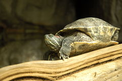 Schildpadgemoedsgesteldheid Stock Afbeeldingen