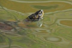 Schildpadhoofd in water royalty-vrije stock foto