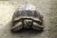 Schildpadportret Royalty-vrije Stock Foto