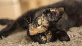 Schildpadshell kat die op tapijt liggen Stock Afbeeldingen