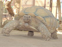 Schildpadtank Stock Foto's