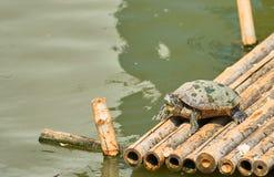 Schildpadtribune op bamboevlot in de vijver met zonnige natuurlijke dag, royalty-vrije stock afbeelding