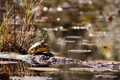Schildpadzitting op login het moeras Stock Afbeelding