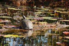 Schildpadzitting op login het moeras Royalty-vrije Stock Foto's