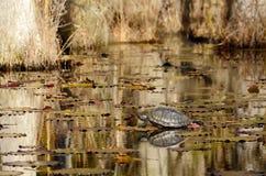 Schildpadzitting op login het moeras Stock Foto