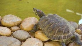 Schildpadzitting op stenen stock videobeelden