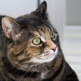Schildpatt-Haus-Katze Stockfotos