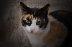 Schildpatt-Katze. Lizenzfreie Stockbilder