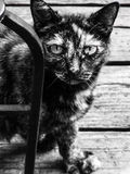 Schildpattzuchtkatze Stockbild