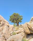 Schildwachtboom, de Pieksleep van Teutonia, het Nationale Domein van Mojave, CA royalty-vrije stock foto