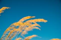 Schilf im blauen Himmel Stockbild