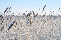 Schilf im Frost Stockfotografie