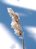 Schilf im Winter Lizenzfreies Stockbild