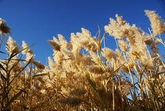 Schilf mit blauem Himmel im Herbst Stockbild