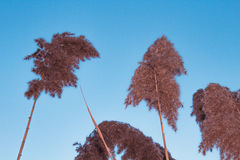 Schilf mit vier Phragmites auf blauer Himmel-Hintergrund Stockfotos