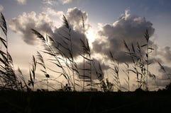 Schilf und Wolken Stockfoto