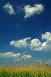 Schilf unter blauem Himmel Lizenzfreies Stockfoto