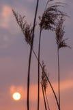 Schilfe bei Sonnenuntergang lizenzfreies stockfoto