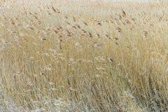 Schilfe beim Achterwasser auf der Insel von Usedom Lizenzfreies Stockfoto