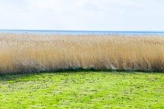 Schilfe beim Achterwasser auf der Insel von Usedom Stockfotografie