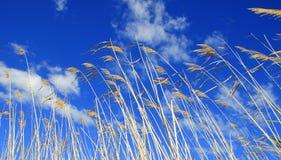 Schilfe, die im Wind gegen einen blauen Himmel durchbrennen Lizenzfreie Stockfotografie