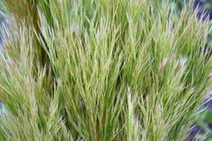 Schilfe, Gras in den subtilen Tönen des Salbeis und Beige stockbild