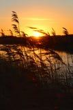Schilfe im Sonnenaufgang Lizenzfreies Stockbild