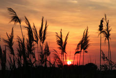 Schilfe im Sonnenuntergang Stockfoto