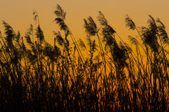 Schilfe im Sonnenuntergang Lizenzfreies Stockbild