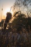 Schilfe im Sonnenuntergang stockfotografie