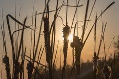 Schilfe im Sonnenuntergang Lizenzfreie Stockfotografie